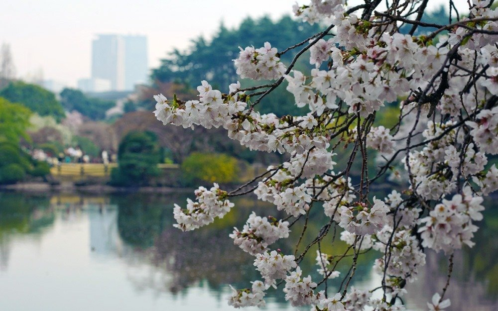 Spring in Japan - cherry blossoms in Tokyo