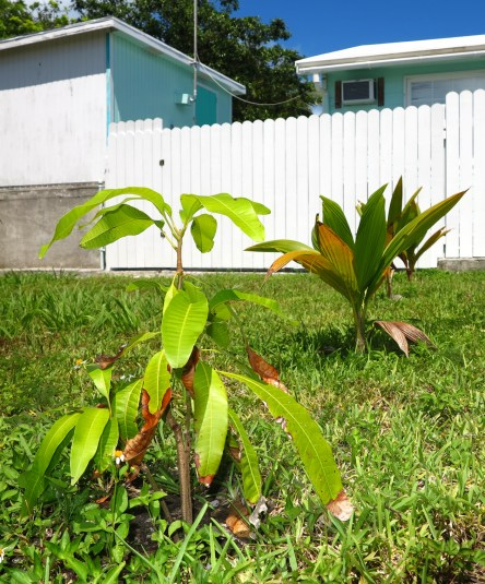 bahamas, abaco, green turtle cay, garden, horticulture, mango, coconut