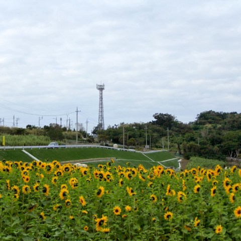 Sunflower Festival 2014