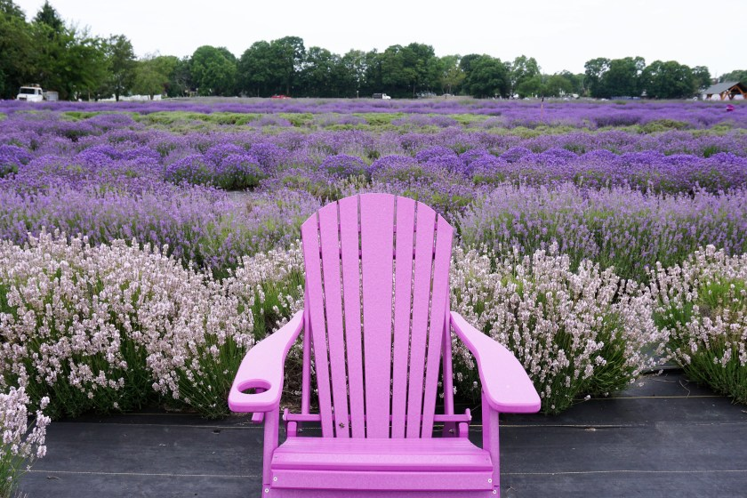 The purple chairs at Lavender by the Bay