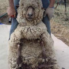 Sheep shearing-ready for a haircut?