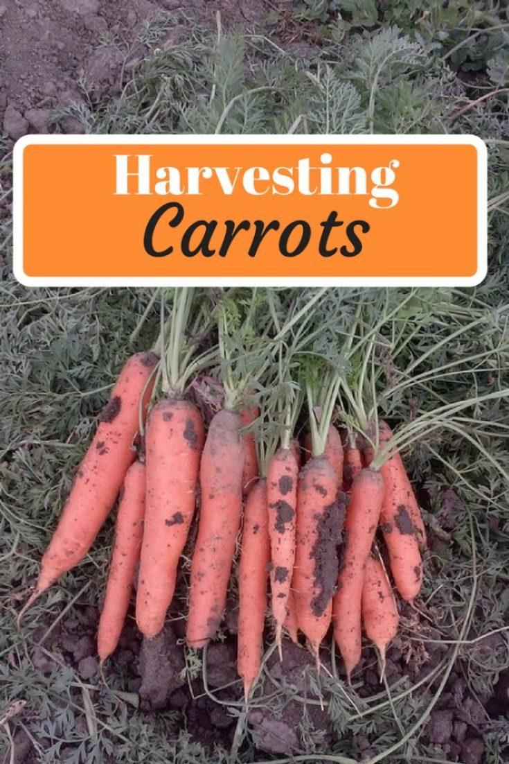 Long beautiful carrot bunch