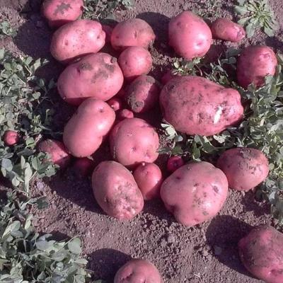 Potato Harvest Tips