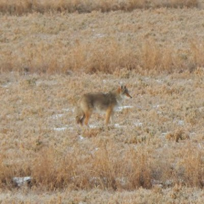 Coyotes follow the Elk