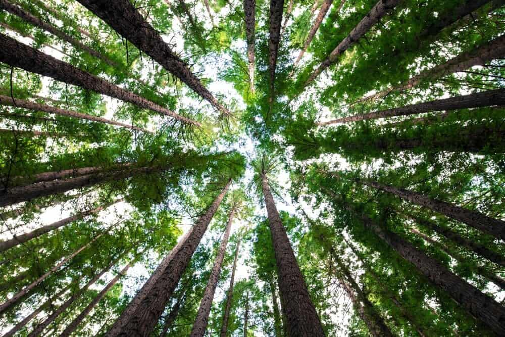 canopy of trees from below