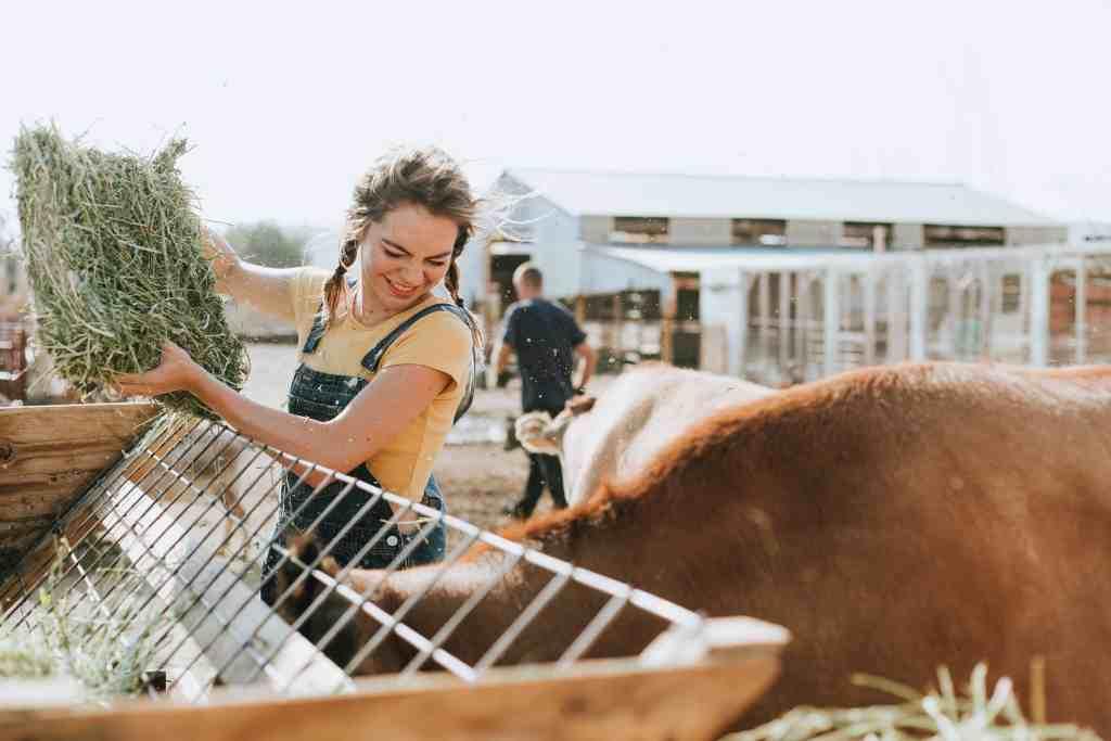 A woman on a WWOOF farm feeding cows in a trough.