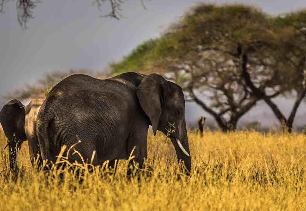 Wildlife activity: Elephant standing in tall yellow grass with trees behind for ethical activity.
