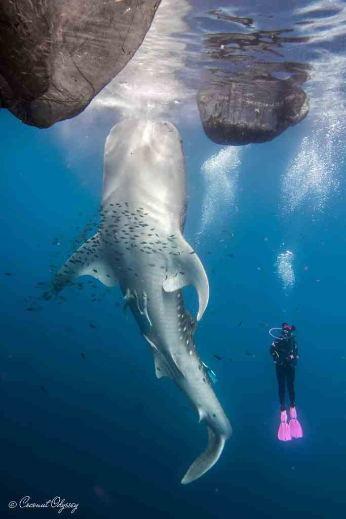 coconut odyssey and whale shark