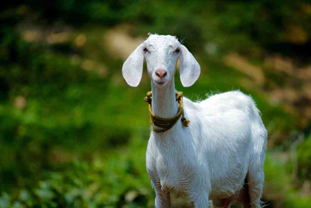 A goat in Cyprus.