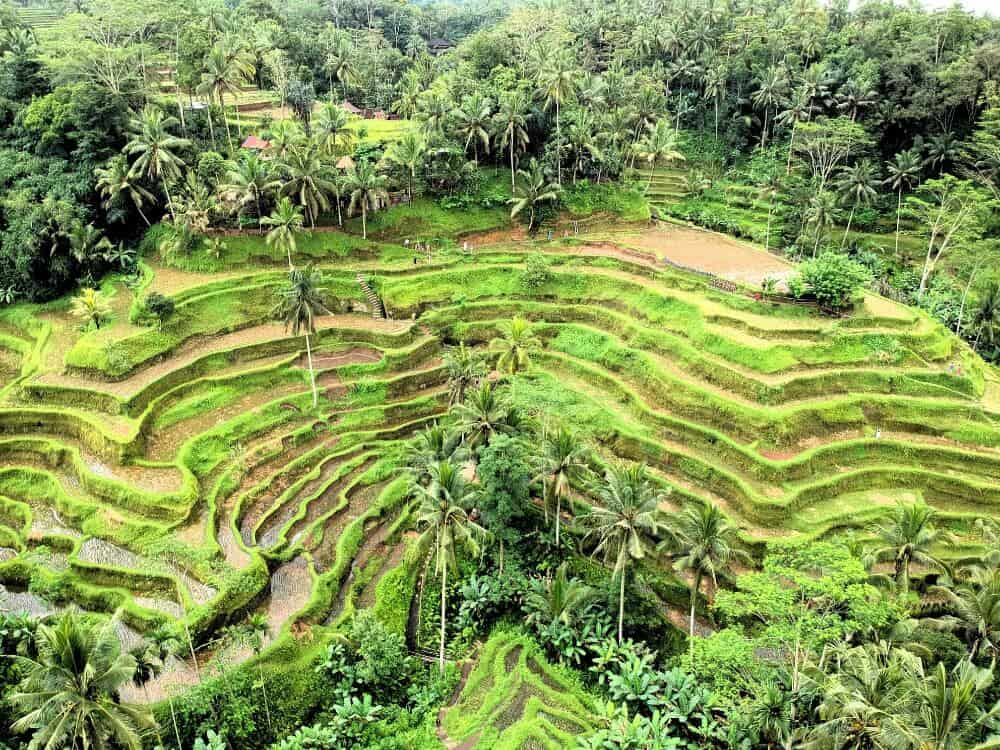environmental guilt - Indonesia rice fields
