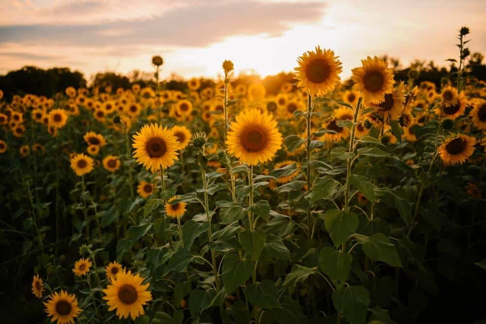 Tall sunflowers in a field