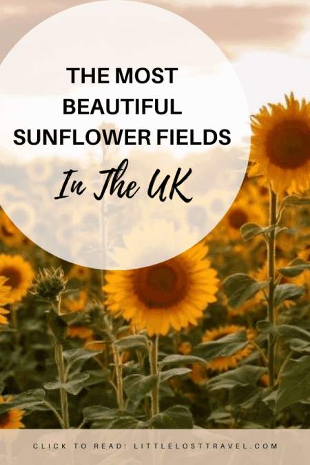 Want to know where to find the best sunflower fields in the UK? My guide features all the best sunflower farms as well as pick your own patches, photo opportunities and more!