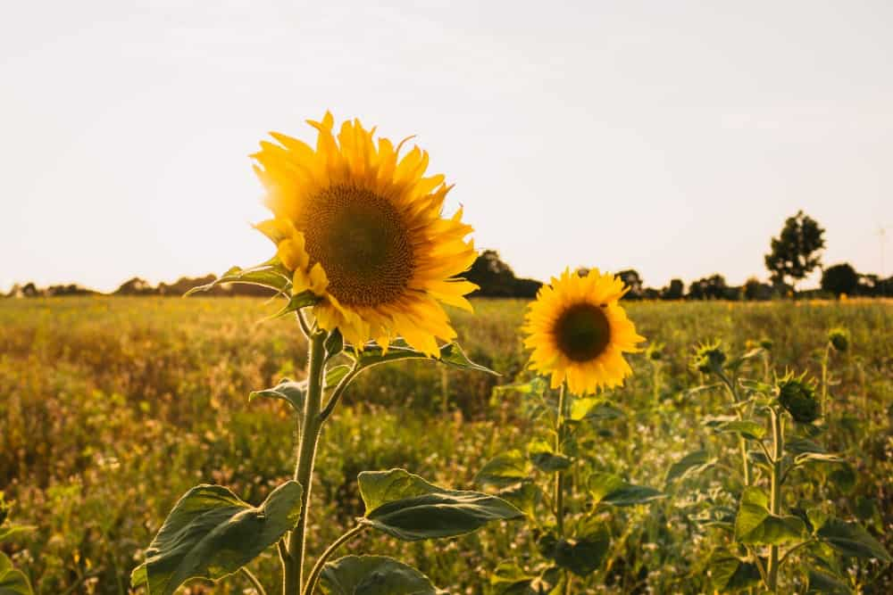 Two sunflowers in a field