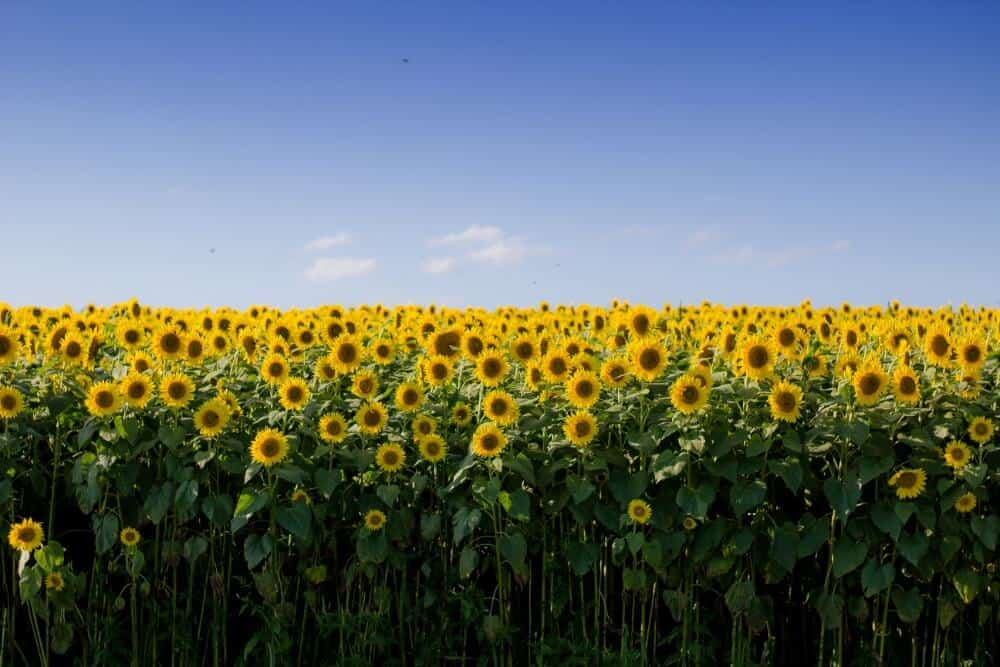 sunflower fields in the UK