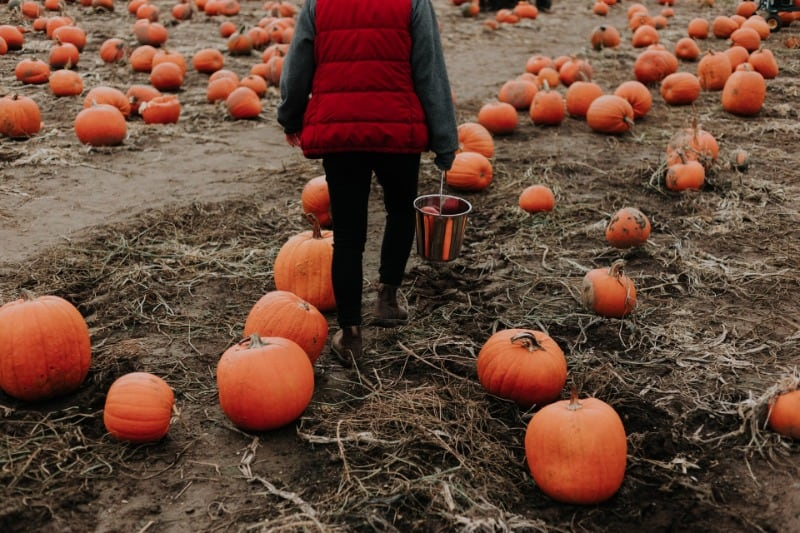 Girl walking through a pumpkin patch at Maxey's Farm Shop in Nottinghamshire