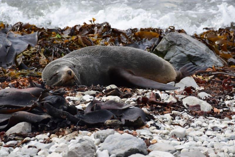 Sleeping fur seal in Kaikoura, New Zealand