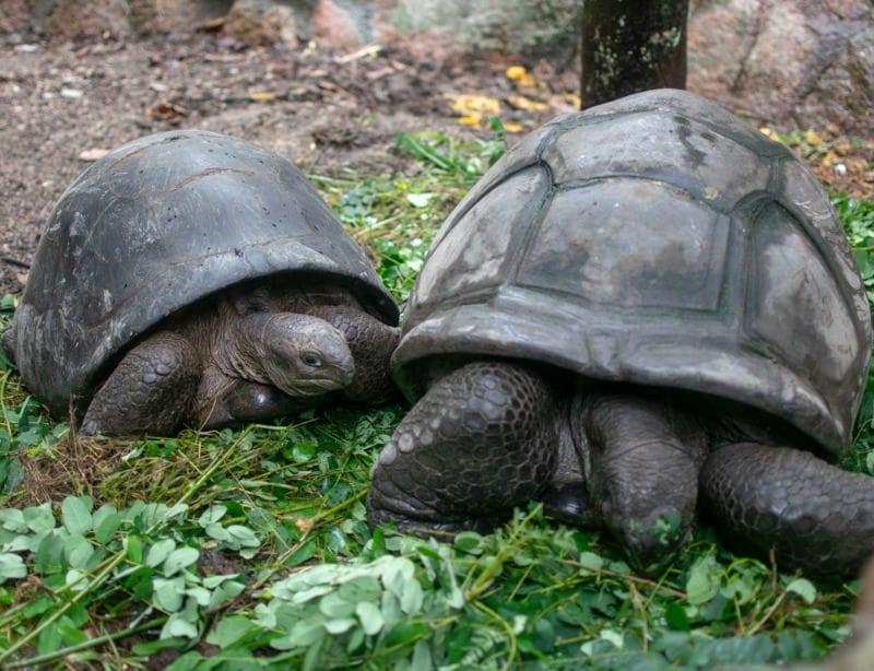 Two giant aldabra tortoises in Seychelles