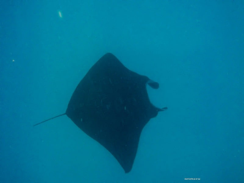 Getting a photo of manta rays can be a little tricky.