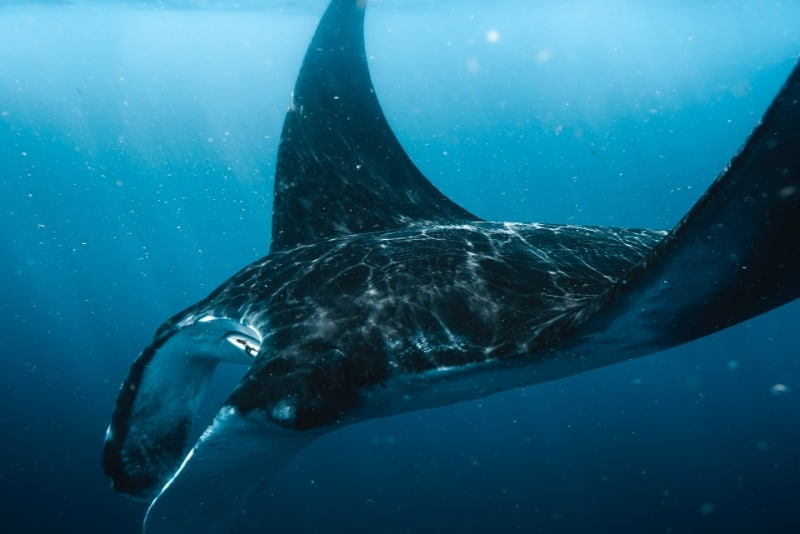 The best place to see manta rays in Fiji is from May to October