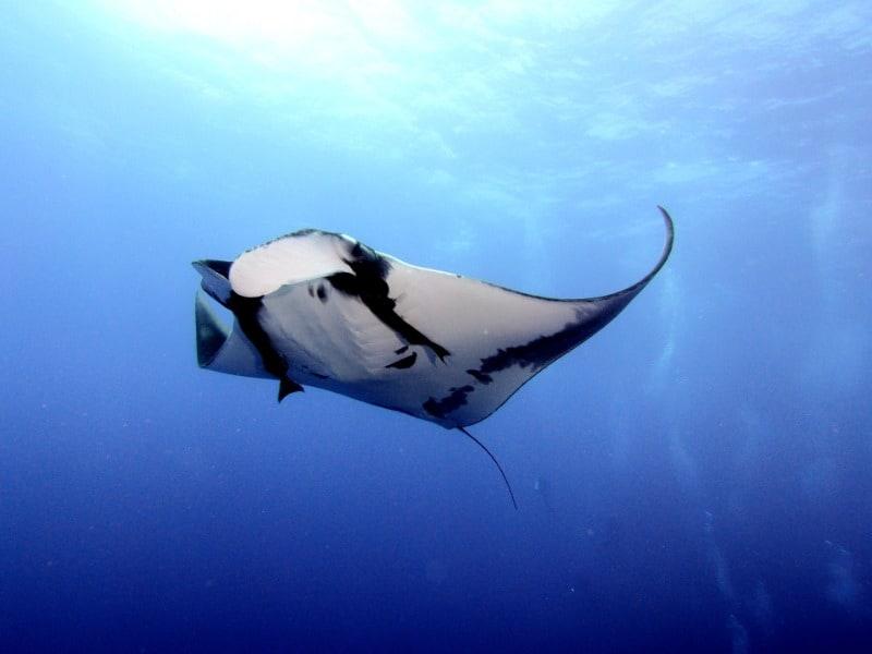 Manta rays in Fiji feeding