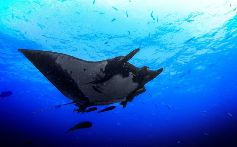 Manta rays swimming with fish.