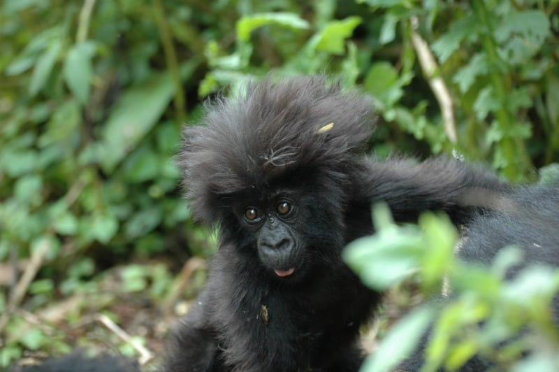 Rwanda's iconic mountain gorillas