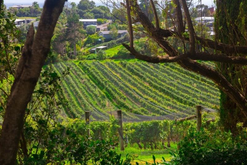 Vineyard at Casa Miro on Waiheke