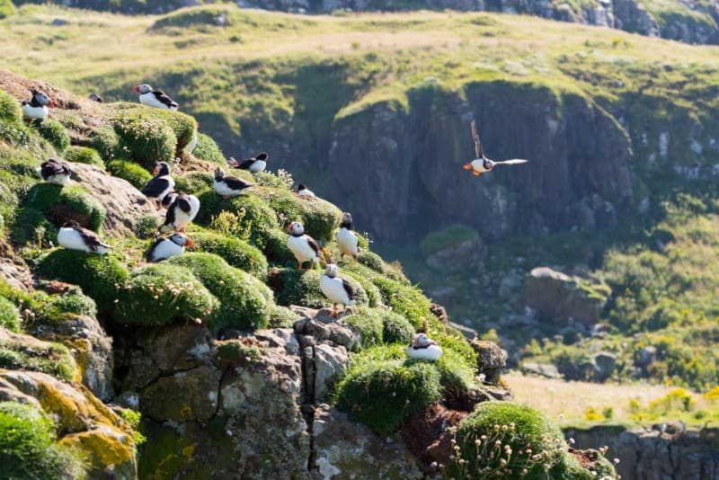 Puffins sitting on the end of a rock on Mull.