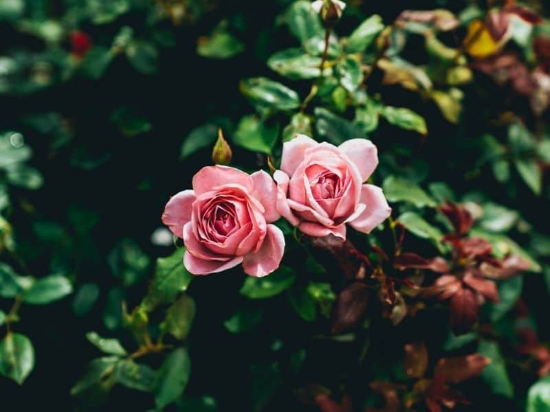 Two pink roses in a rose bush