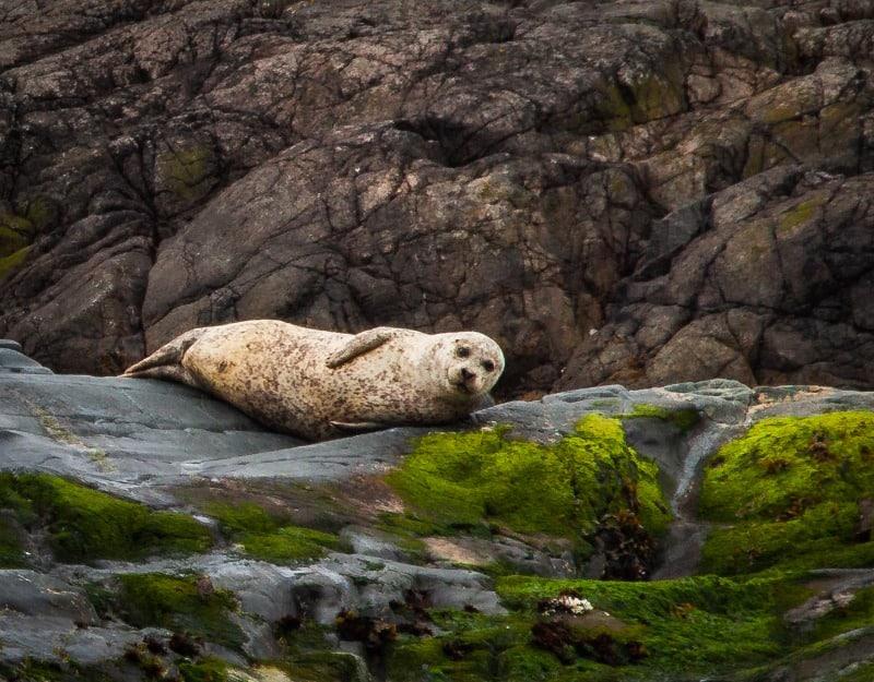 Seal lying on the rocks in Islay