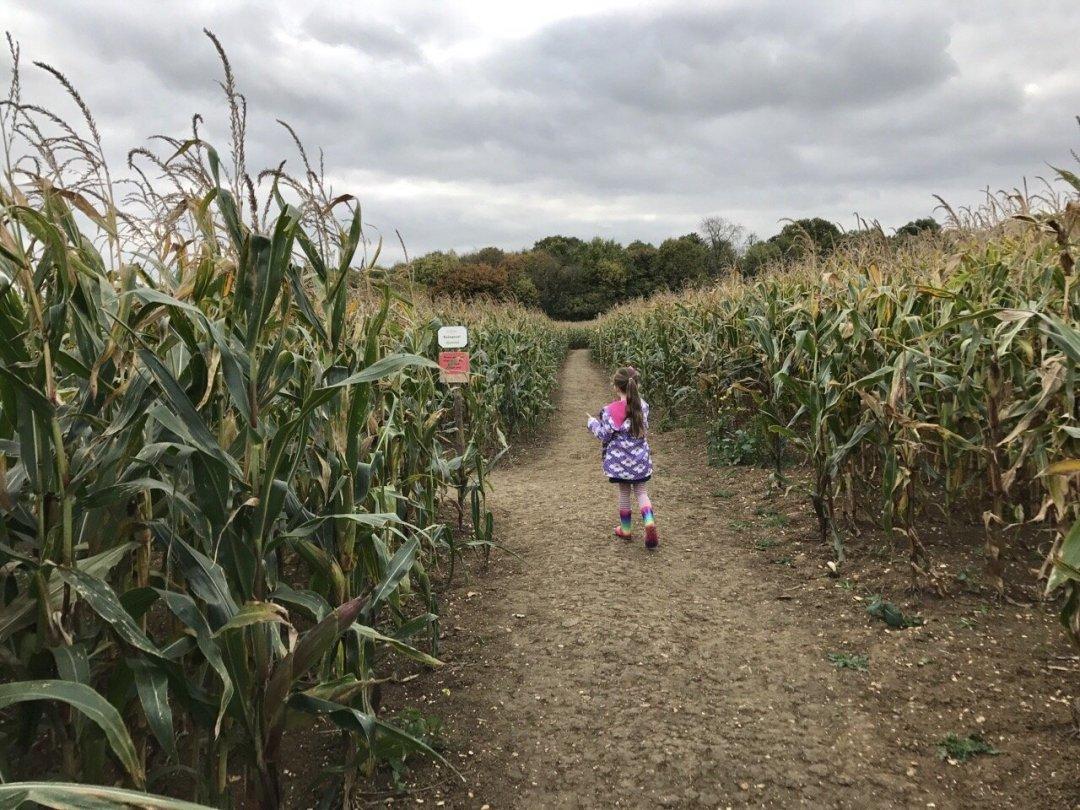 Pumpkin Picking In Essex i the maize maze