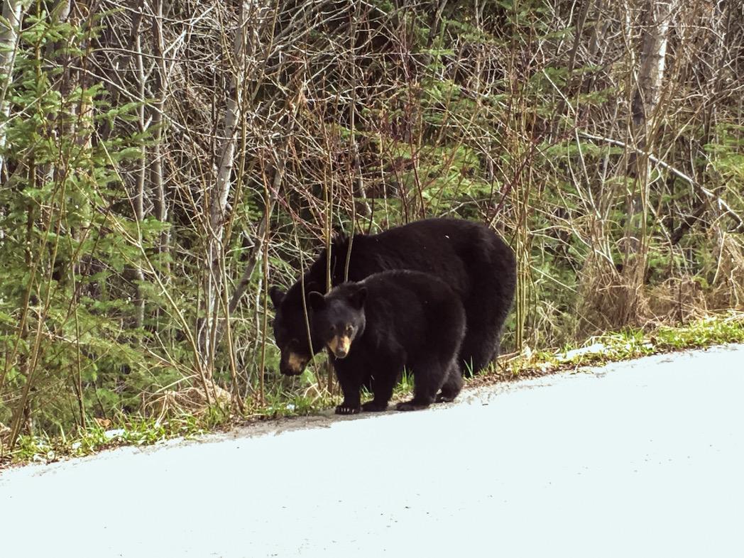 Black bears, Miette Road, Jasper NP