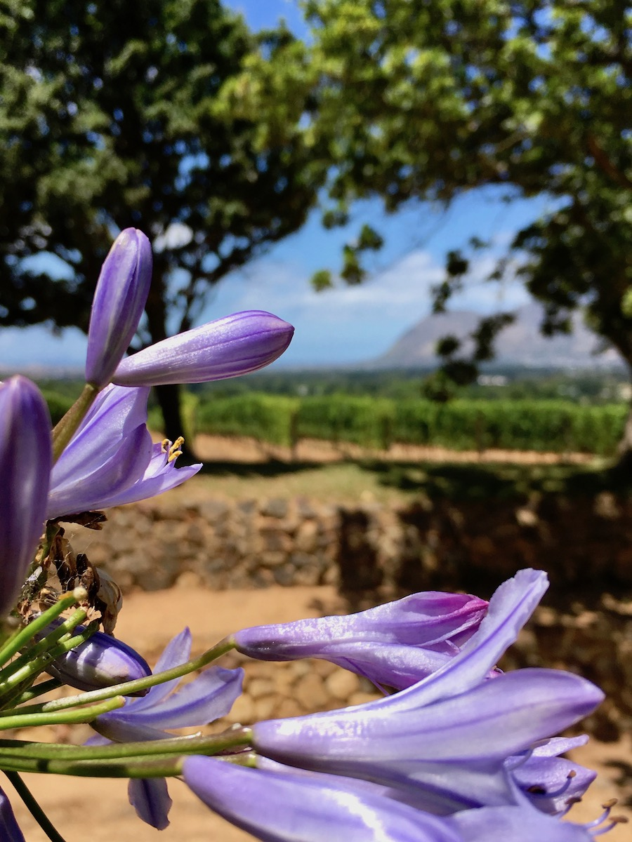 Agapanthus at Groot Constantia