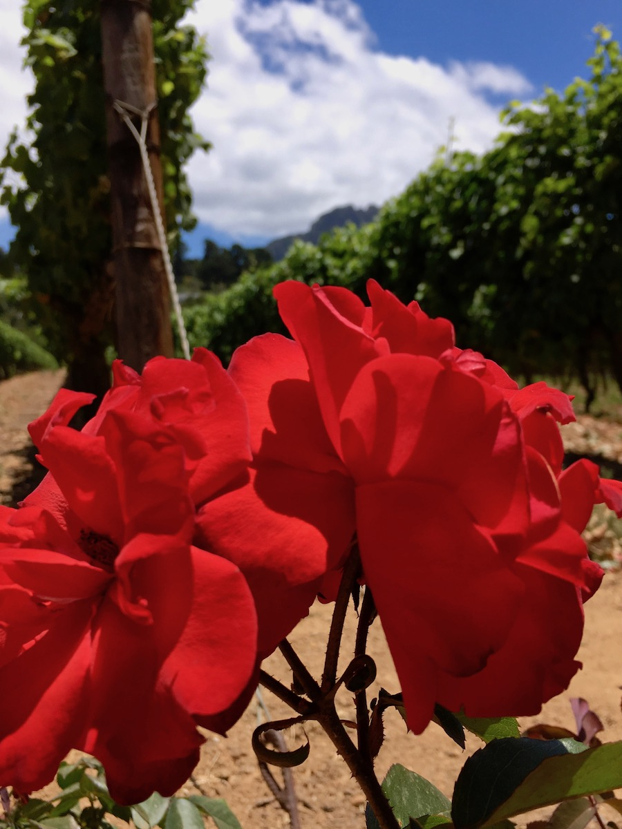 Red roses at Groot Constantia