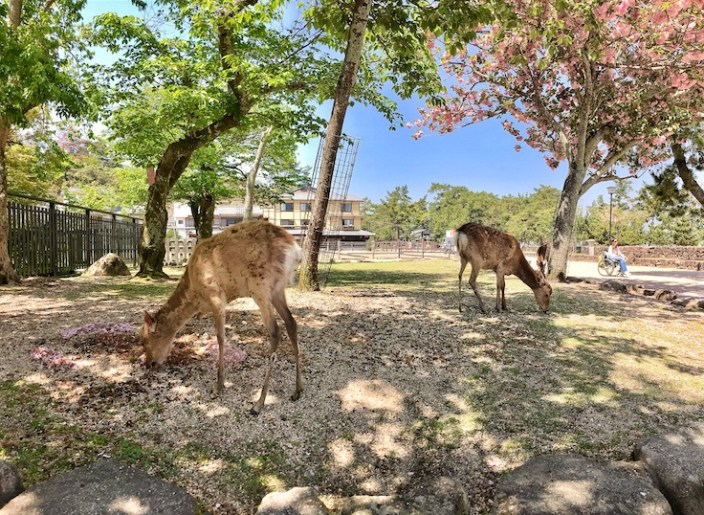 Miyajima deer | Little Miss Turtle