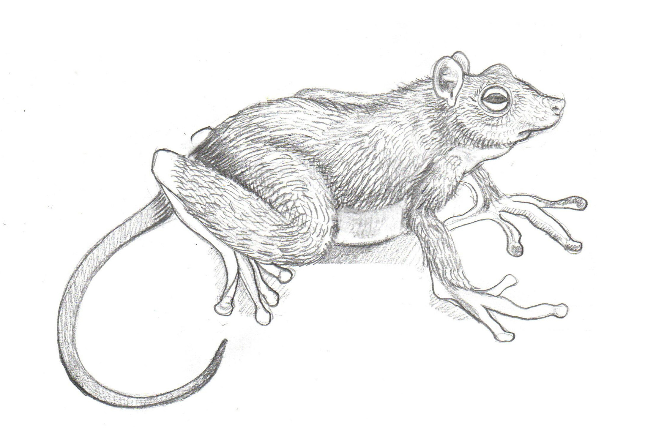 RaToad Mashup Animal pencil drawing Rat and Toad Beastie