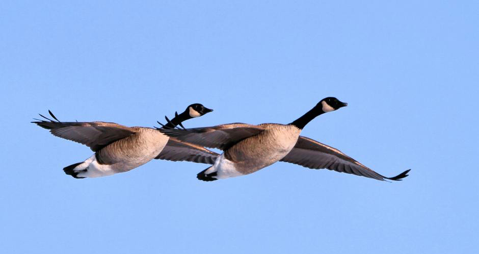 Canad-Goose-pair-by-Ian-Barker