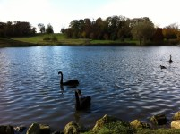 There are black swans at Leeds Castle because they were a present to Sir Winston Churchill from Australia.