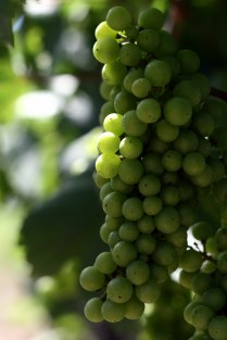 The Niagara Wineries