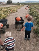 Hauling their pumpkins