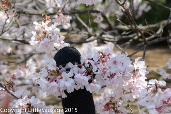 "Mr Ninja says ""Hi"" from his hiding place in the blossoms."