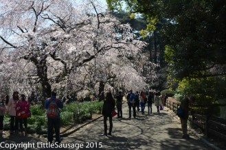 Large groups of people taking or posing for pictures are seen around almost every cherry tree.