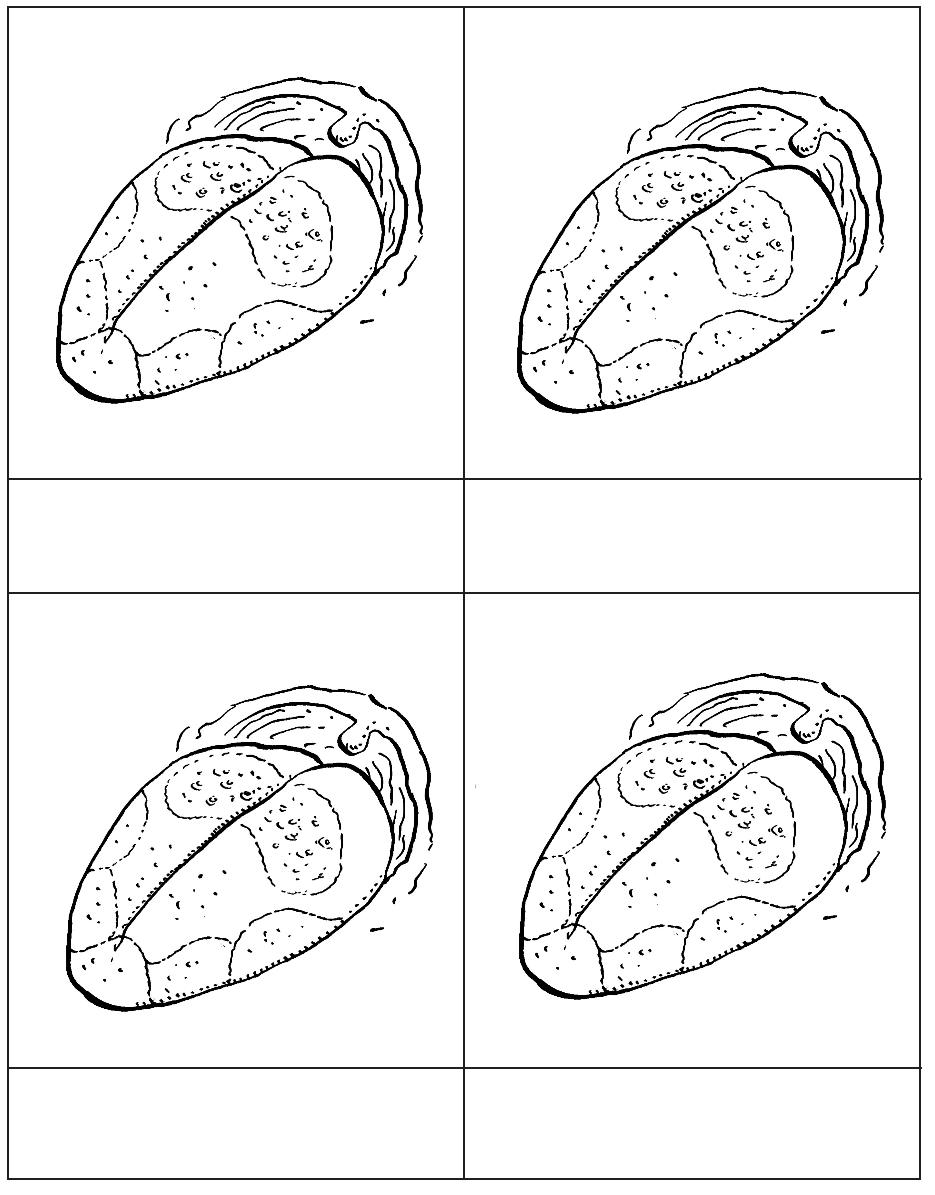 parts of tongue - Montessori