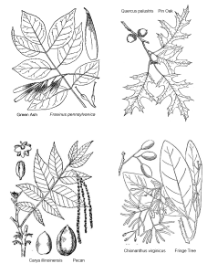 extra images 227x300 - Tree ID Key and Coloring Pages