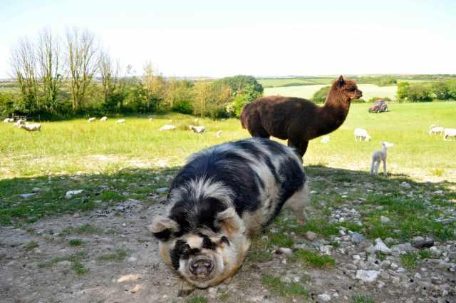 court-farm-bude-kune-pig