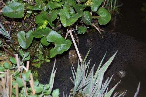 Frog In Spawn