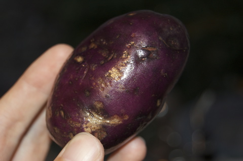 Blue Potatoes - 1