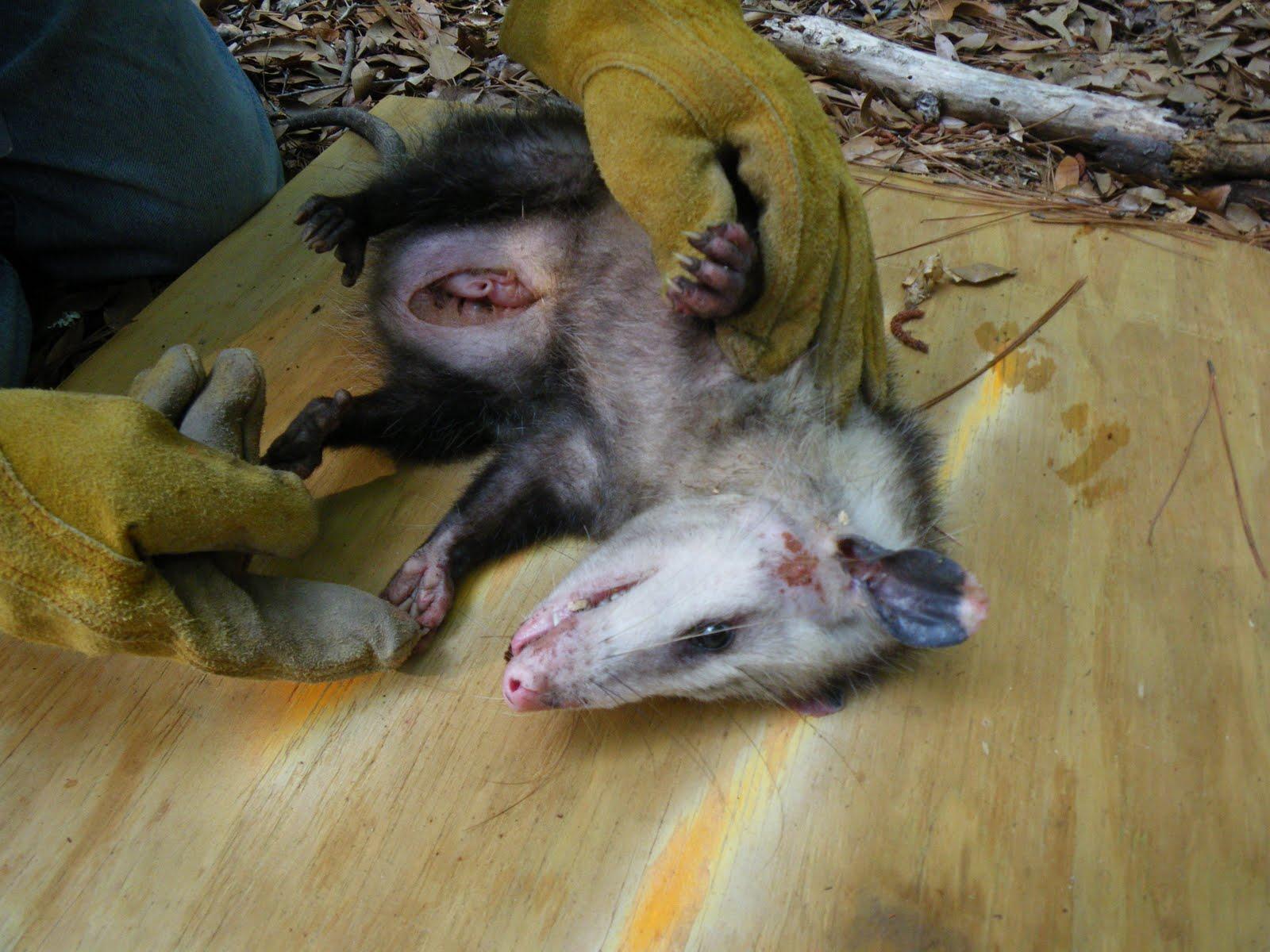 Dear Mama Opossum