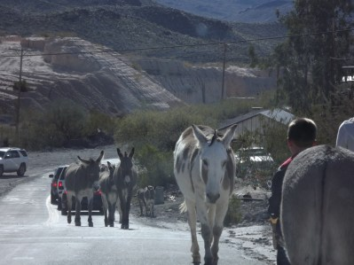 Burros coming into town for breakfast