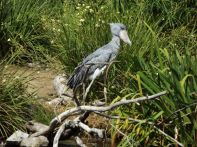 AFRICAN OPEN BILL STORK. LOOK JUST LIKE STATUTES